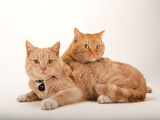 A Studio Portrait of Two Cats Named Romey and Gorby Photographic Print by Joel Sartore