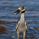 A Yellow Crowned Night Heron Feeding on a Crab in a Pacific Tidal Pool Photographic Print by Medford Taylor