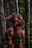 Orangutans in a Peat Swamp Delta at the Borneo Orangutan Survival Center Photographic Print by Mattias Klum