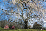 A Giant Sycamore Tree at the Brandywine Battlefield Historic Site Photographic Print by Michael Melford