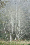 Birch Trees in Fog Photographic Print by Vickie Lewis
