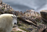 Portrait of a Mountain Goat, Oreamnos Americanus, in Rocky Terrain Photographic Print by Robbie George