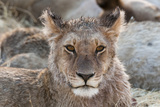 Portrait of a Wet Young Lion, Panthera Leo, after Crossing a River Photographic Print by Sergio Pitamitz