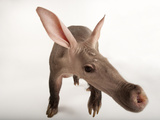 A Portrait of an Aardvark, Orycteropus Afer Photographic Print by Joel Sartore