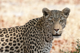 Portrait of a Leopard, Panthera Pardus Photographic Print by Sergio Pitamitz
