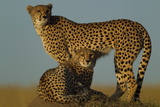 A Cheetah, Acinonyx Jubatus, and Her Juvenile on a Dirt Mound Photographic Print by Beverly Joubert