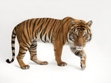 An Endangered Malayan Tiger, Panthera Tigris Jacksoni Photographic Print by Joel Sartore