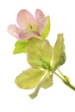 A Hellebore Flower Photographic Print by Robert Llewellyn