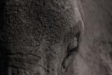 Close Up of an African Elephant's Eye and Forehead Fotografisk trykk av Beverly Joubert