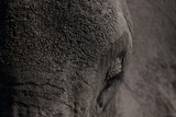 Close Up of an African Elephant's Eye and Forehead Photographic Print by Beverly Joubert