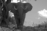 Portrait of a Male African Elephant, Loxodonta Africana, with His Ears Flapped Outwards Fotodruck von Beverly Joubert