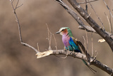 A Lilac-Breasted Roller, Caracias Caudatus, Perching on a Tree Branch Photographic Print by Sergio Pitamitz