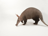 An Aardvark, Orycteropus Afer, from the Omaha Zoo Photographic Print by Joel Sartore