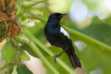 An Endangered Seychelles Magpie-Robin, Copsychus Sechellarum, Perching on One Leg Photographic Print by Sergio Pitamitz