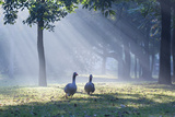 Two Grey Geese Run Though the Early Morning Mists of Ibirapuera Park Photographic Print by Alex Saberi