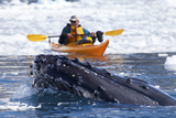A Humpback Whale, Megaptera Novaeangliae, Surfaces in Brash Ice Near a Kayaker Photographic Print by Ira Meyer