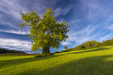 A Sycamore Tree at Woodlawn, a Tract of Upland Meadows and Woods Photographic Print by Michael Melford