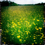 Buttercups Photographic Print by Craig Roberts
