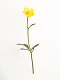 Buttercup Photographic Print by Will Wilkinson