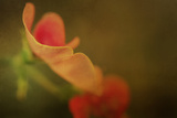 Sweet Pea in Summer Photographic Print by Mia Friedrich
