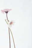 Gerbera Dancing Photographic Print by Mia Friedrich