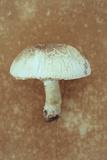 Field Mushroom Photographic Print by Den Reader
