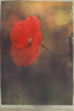 The Summer of the Poppy Photographic Print by Mia Friedrich