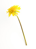 Dandelion Glow Photographic Print by Will Wilkinson