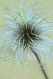 Fluffy Seedhead of Clematis Frances Rivis Lying on Antique Paper Photographic Print by Den Reader