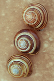 Grove Snails Photographic Print by Den Reader