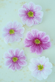 Pelargonium Photographic Print by Den Reader