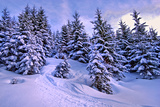 Snow Covered Conifers, Austria, Europe Photographic Print by Sabine Jacobs