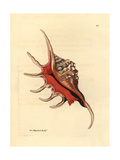 Spider Conch Shell, Lambis Lambis Giclee Print by Richard Polydore Nodder