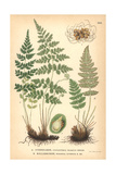 Fragile Fern, Cystopteris Fragilis, and Rusty Woodsia Fern, Woodsia Ilvensis Giclee Print