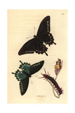 Pipevine Swallowtail, Battus Philenor Giclee Print by Richard Polydore Nodder