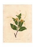 Strophanthus Dichotomus, Twisted Cord Flower Giclee-vedos