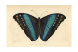 Achilles Morpho or Great Blue-Banded ButterflyMorpho Achilles (Papilio Achilles) Giclee Print