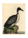 Northern Diver or Loon, Colymbus Glacialis Giclee Print by Richard Polydore Nodder
