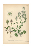 Scurvygrass or Spoonwort, Cochlearia Officinalis Giclee Print