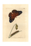 American Painted Lady, Vanessa Virginiensis Giclee Print by Richard Polydore Nodder