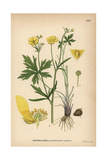 Buttercup, Ranunculus Acris Giclee Print