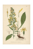 Goldenrod or Woundwort, Solidago Virgaurea Giclee Print