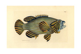 Bluelined Hind or Rockcod, Cephalopholis Formosa Giclee Print by Richard Polydore Nodder