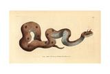Horned Viper, Cerastes Cerastes Impressão giclée