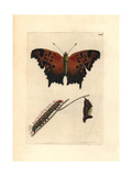 Eastern Comma, Polygonia Comma Giclee Print by Richard Polydore Nodder