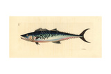Narrow-Barred Spanish Mackerel, Scomberomorus Commerson Giclee Print by Richard Polydore Nodder