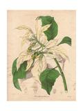 Poinsettia Pulcherrima Var AlbidaShowy White Poinsettia Giclee Print