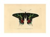 Madagascan Sunset Moth, Chrysiridia Rhipheus Giclee Print