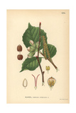 Common Hazel Tree, Corylus Avellana Giclee Print