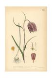 Snake's Head Fritillary, Fritillaria Meleagris Giclee Print